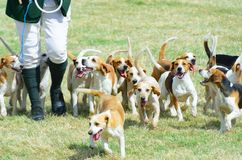 Pack of Beagles out hunting. Pack of Beagles with man  out hunting Royalty Free Stock Images