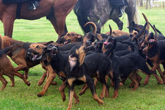Pack of bloodhounds Stock Photos