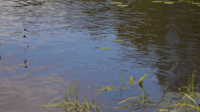 pack of blue dragonflies flies over river water stock footage