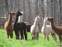 Pack of brown and white Alpacas Royalty Free Stock Photography