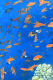 Pack of colored fish Egypet Sea stock photo
