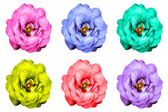 Pack of colored surreal strange rose flowers isolated Royalty Free Stock Photos