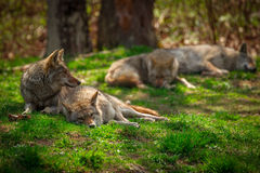 Pack of Coyotes Sleeping and Resting in Forest Royalty Free Stock Photos