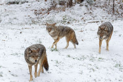 Pack of coyotes in a winter scene Royalty Free Stock Images