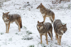 Pack of coyotes in a winter scene Stock Photo
