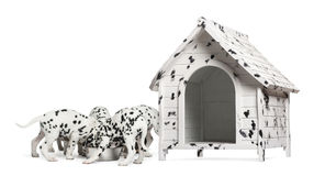 Pack of Dalmatian puppies eating from the same bowl. Next to a dog kennel, isolated on white royalty free stock photo