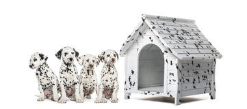 Pack of Dalmatian puppies sitting in a row next to a kennel Stock Photo