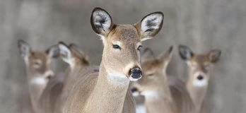 Pack of deer in nature Royalty Free Stock Photography