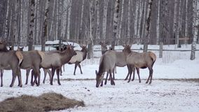 Pack of deer in the wild forest stock video footage