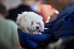 Pack Dog. A small white dog in a blue back pack royalty free stock image