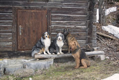 Pack of dog: australian shepherd, bearded collie, belgian malinois, airdale terrier resting in front of old wooden cabine Royalty Free Stock Photos