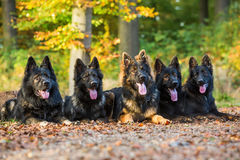 Pack of dogs in the autumnal forest Royalty Free Stock Photography