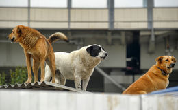 A pack of dogs Stock Photography