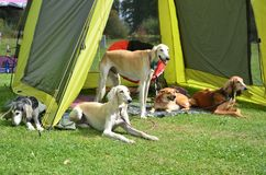 Pack of dogs wait under green tent during dog show Royalty Free Stock Photo