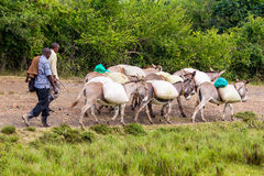 Pack of donkeys Royalty Free Stock Photo