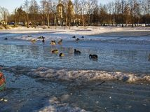Pack of ducks on the ice pond. Moscow Royalty Free Stock Images