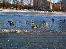Pack of ducks on the ice pond. Moscow Royalty Free Stock Photo
