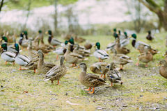Pack of the ducks outdoors in the field. Group of ducks in the park in autumn Royalty Free Stock Images