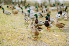 Pack of the ducks outdoors in the field. One of the ducks looking to the camera Royalty Free Stock Photo