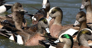 Pack Of Ducks. A raft of tightly packed ducks on a winter lake in Colorado Royalty Free Stock Photo