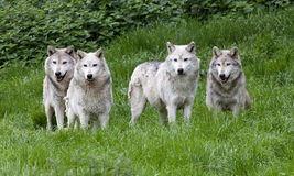 Pack of European Grey Wolves. A pack of European Grey Wolves playing in grass royalty free stock images