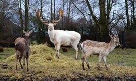 Pack of feeding deer Royalty Free Stock Image
