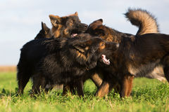 Pack of fighting German Shepherd dogs Royalty Free Stock Images