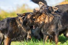 Pack of fighting German Shepherd dogs Royalty Free Stock Photos
