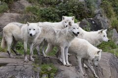 Pack of five adult arctic wolves standing royalty free stock photography