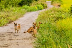 Pack of four brown dogs on small roadway Royalty Free Stock Photos