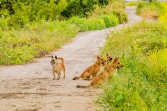 Pack of four brown dogs on small roadway Royalty Free Stock Image