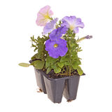 Pack of four petunia seedlings for transplanting. Pack containing four seedlings of petunia plants flowering in blue and pink ready for transplanting into a home Stock Images