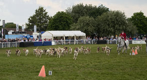 Pack of fox hounds Stock Images