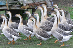 Pack of gooses. Gooses in a french farm in the medoc royalty free stock photo