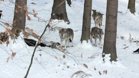 Pack of gray wolves (Canis lupus). stock footage