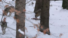 Pack of gray wolves (Canis lupus) in a snowy forest , in winter. stock video footage