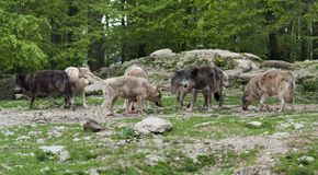 Pack of Gray Wolves near forest edge. A pride of gray Wolves at fed in natural ambiance Royalty Free Stock Photography