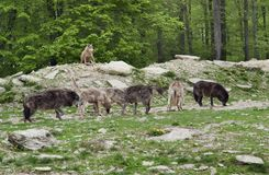 Pack of Gray Wolves Stock Image
