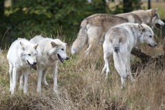Pack of Grey Wolves royalty free stock photo