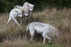 Pack of Grey Wolves Royalty Free Stock Photography