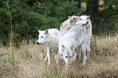 Pack of Grey Wolves Stock Photos