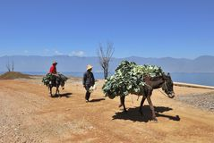 The pack horse. The farmers put the tobacco leaf on a horse back,walking by the Erhai lake stock photos