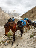 Pack Horses in the Karakorum Mountains Stock Image
