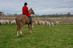 Fox hunting with a pack of hounds. A pack of hounds ready to move off on the hunt for foxes under the watchful eye of the Huntsman. Hunting foxes with hounds was stock photo