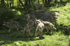 A pack of howling Coyotes. A pack of howling and playful Coyotes stock photos