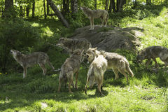 A pack of howling Coyotes. A pack of howling and playful Coyotes stock photography