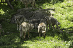 A pack of howling Coyotes. A pack of howling and playful Coyotes royalty free stock photos