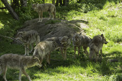 A pack of howling Coyotes. A pack of howling and playful Coyotes royalty free stock photo