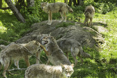 A pack of howling Coyotes Stock Photos