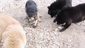 Pack Of Hungry Dogs. Eating food granules from the floor, overhead view stock footage